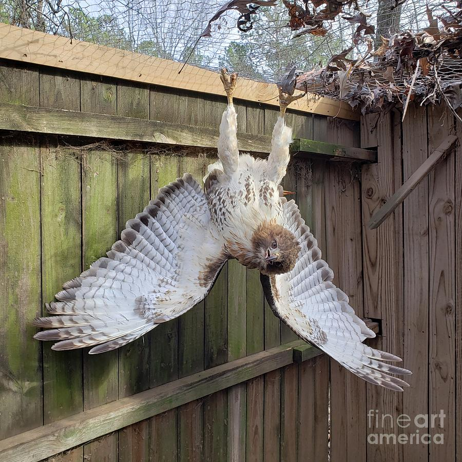 Red-tailed Hawk Trapped In My Chicken Pen Photograph