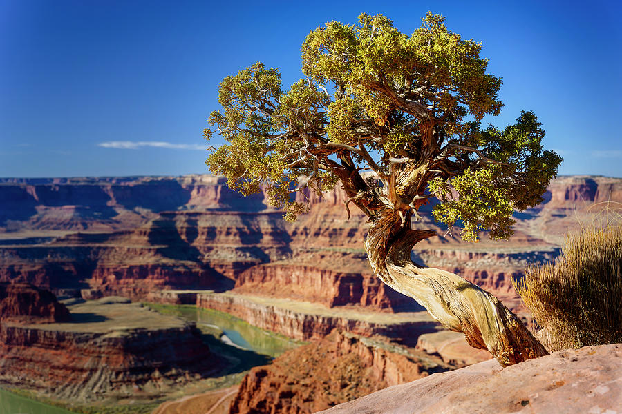 Tree at Dead Horse Point State Park Moab Utah by Joan Carroll