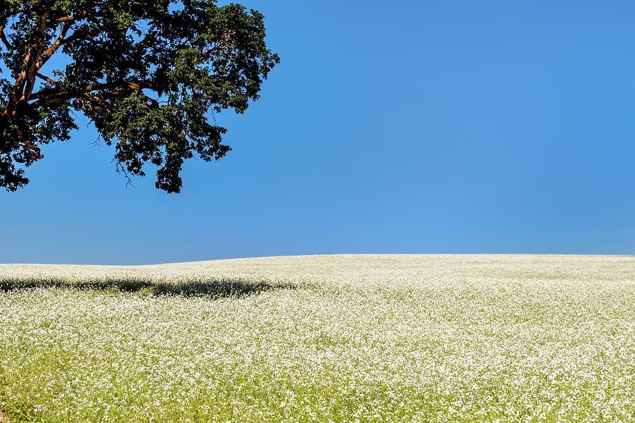 Tree Blue Sky White Mustard Photograph