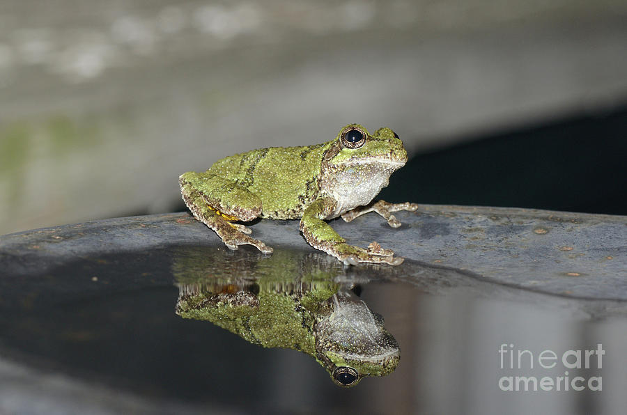 Tree Frog Reflection by The Ford Family