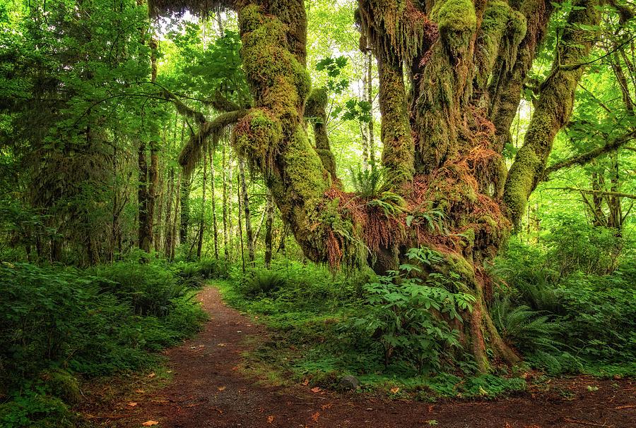 Tree in Quinault Rain Forest by Carolyn Derstine