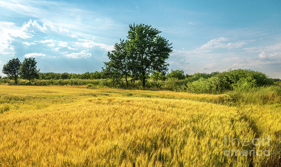 Tree in wheat field in summer by Jelena Jovanovic