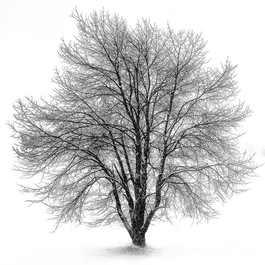 Tree In Winter Storm Photograph