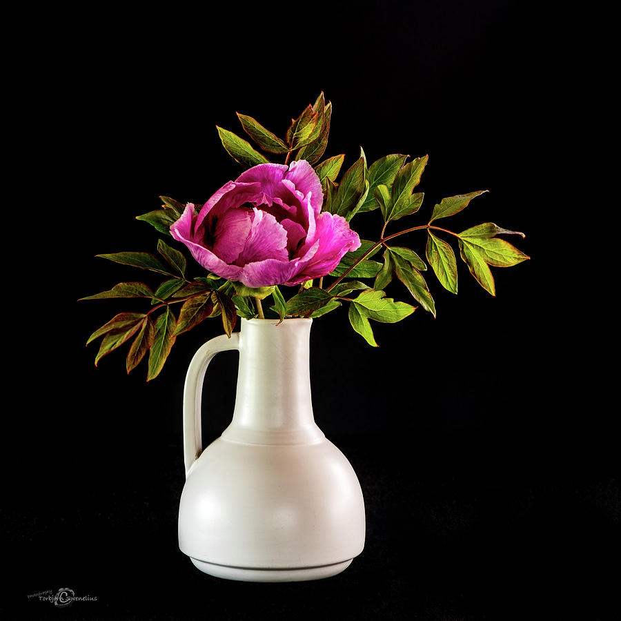 Tree Peony Lan He Paeonia Suffruticosa Rockii In A White Vase On A Black Background Photograph