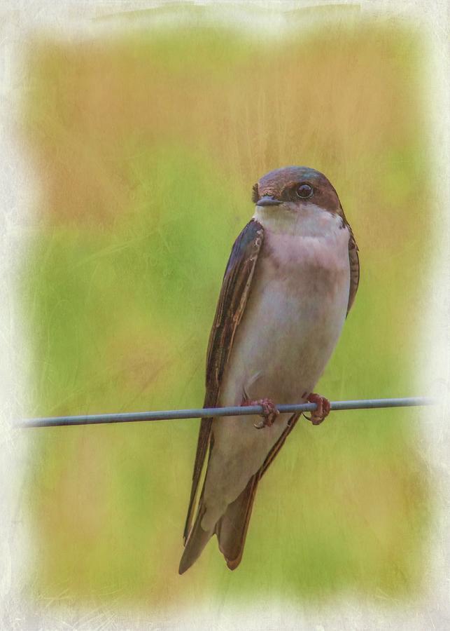 Tree Swallow 5 Photograph