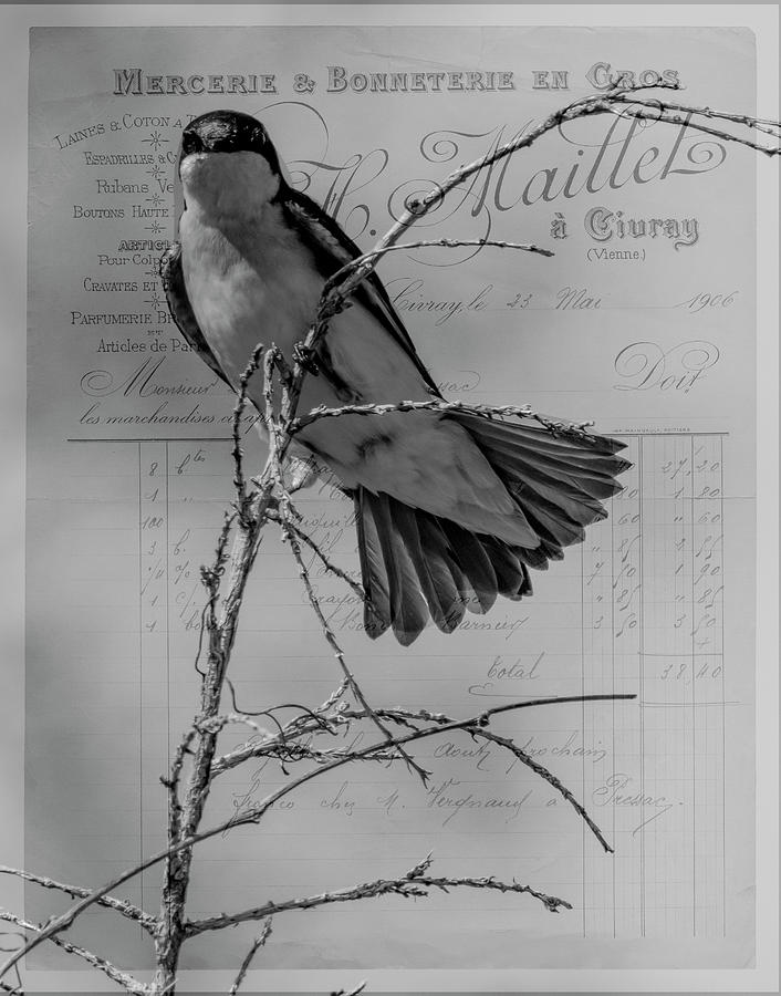 Tree Swallow Photograph