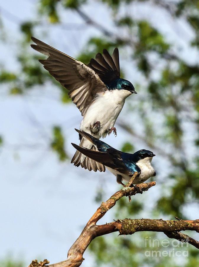 Tree Swallows Mating Photograph