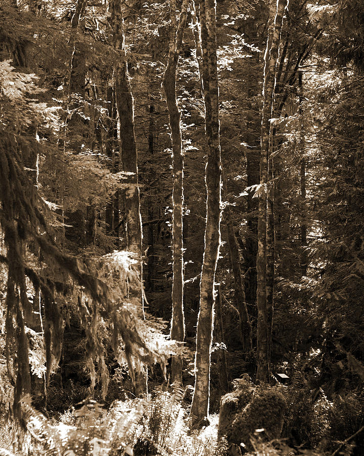 Trees In The Forest. Olympic National Park Photograph