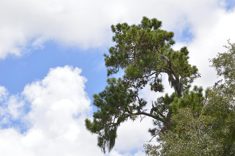 Treetop Clouds Photograph