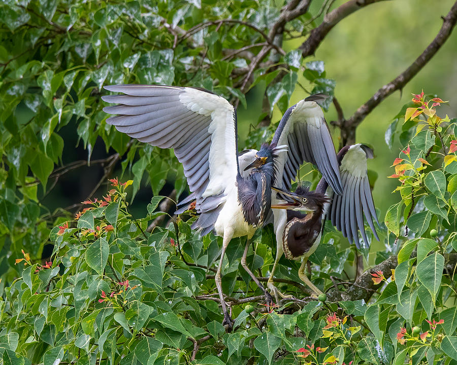 Tri-colored Heron Adult and Juvenile Photograph by Larry Maras