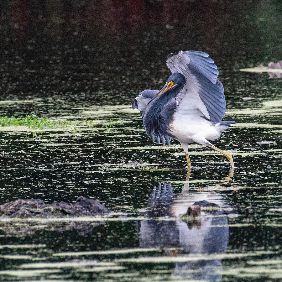 Tri-colored Heron Dance Photograph by Larry Maras