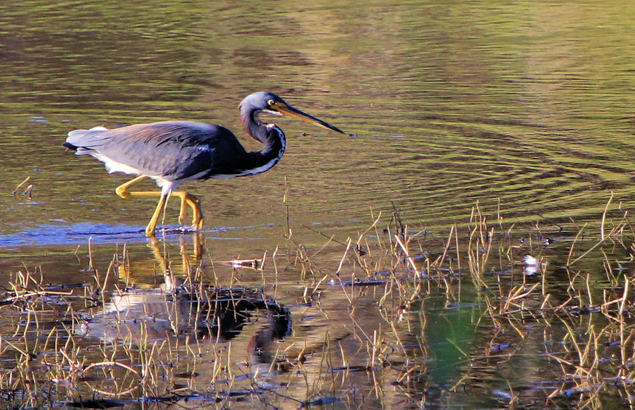 Tricolored Heron Hunting by Rosalie Scanlon