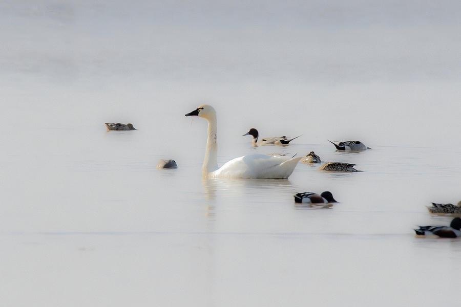 Tundra Swan Milky White Pyrography