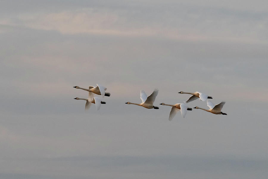 Trumpeter Swans In Flight Photograph - Trumpeter Swans in Flight by Catherine Avilez
