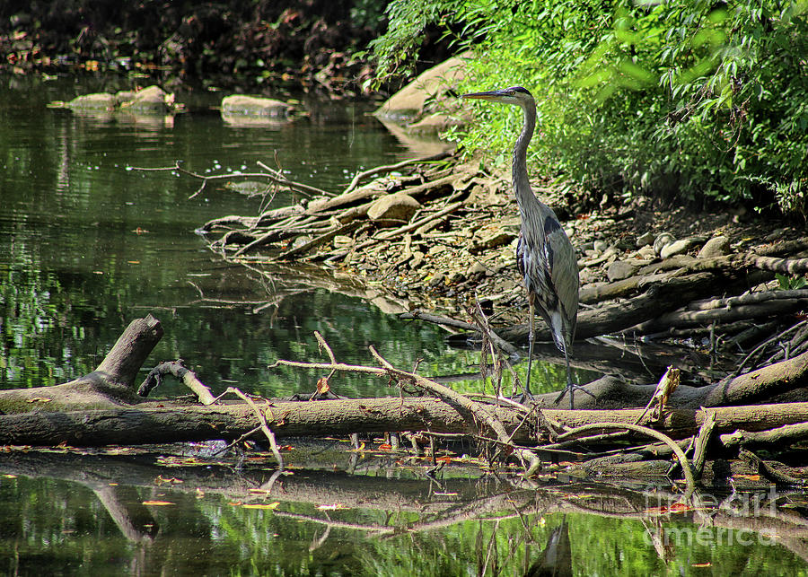 Great Blue Heron Photograph - Trying To Blend In by Karen Adams