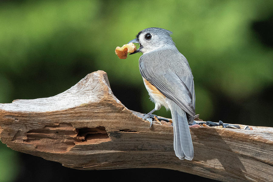 Tufted Titmouse by Mike Koenig