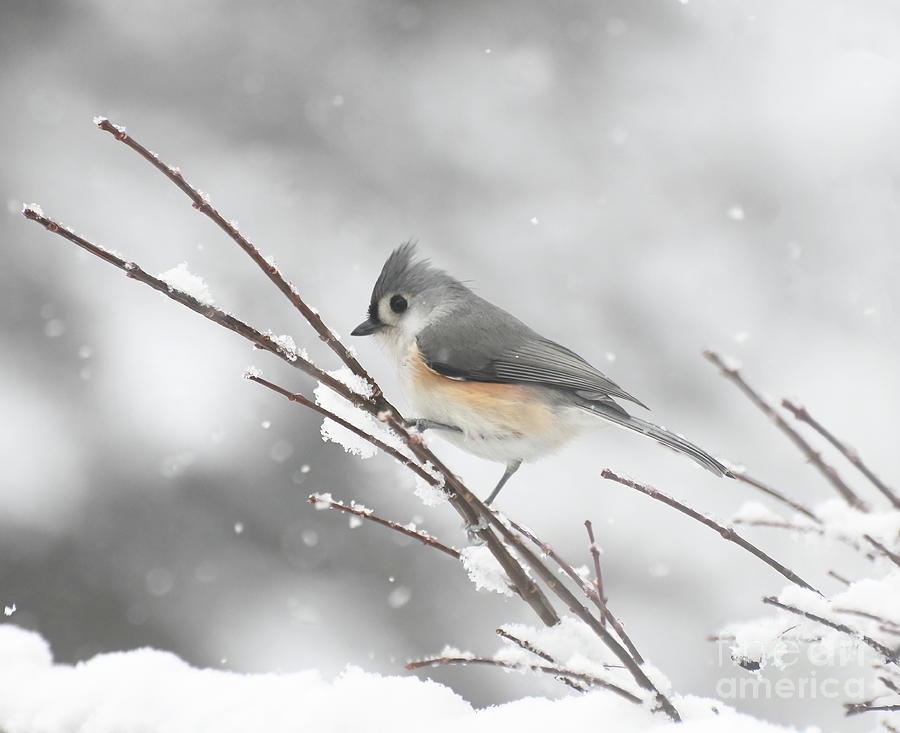 Tufted Titmouse On A Winter Day Photograph