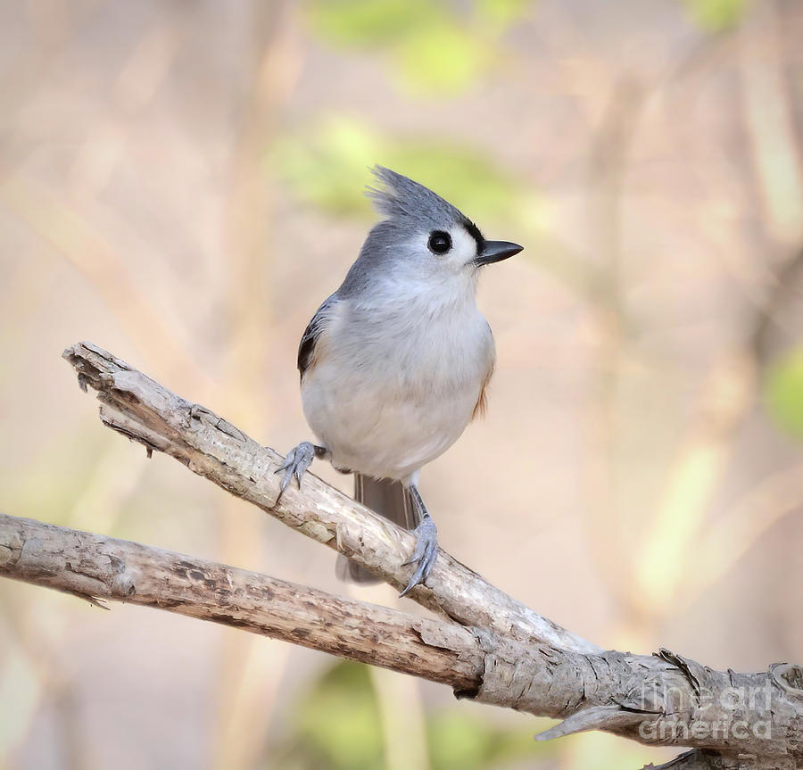 Tufted Titmouse - Perched And Posing Photograph