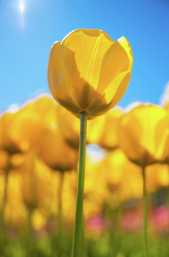 Tulip Blast by Max Blinkhorn