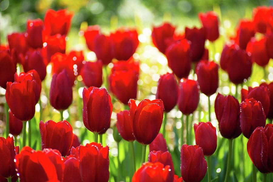 Tulip Dream Photograph
