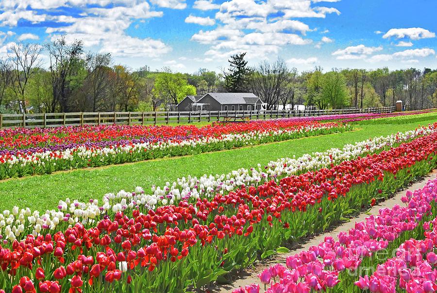 Tulip Field Beauty N.j. Photograph