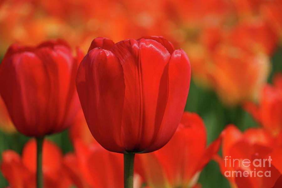 Tulip Intensity Photograph