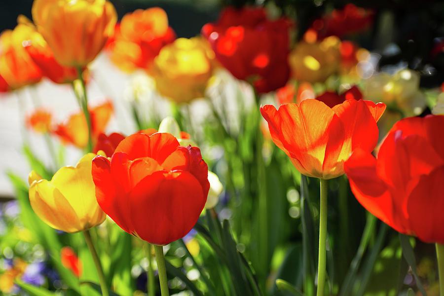 Tulip Sparkle Photograph