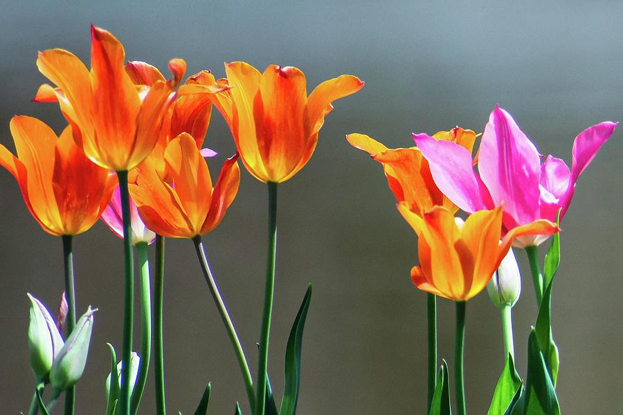 Tulip Sunshine Photograph