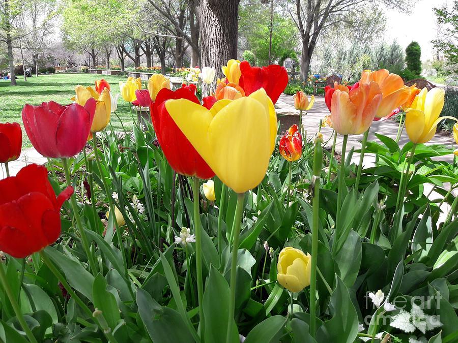 Tulip Trail Photograph