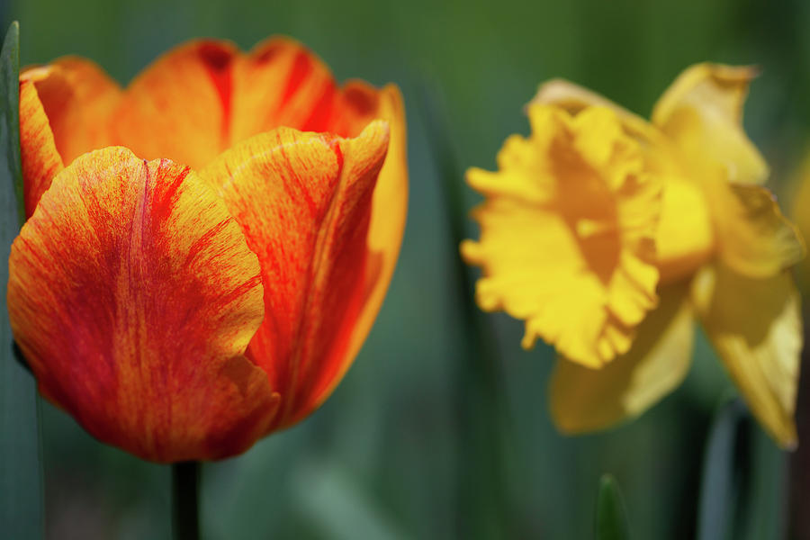 Tulips And Daffodils Photograph