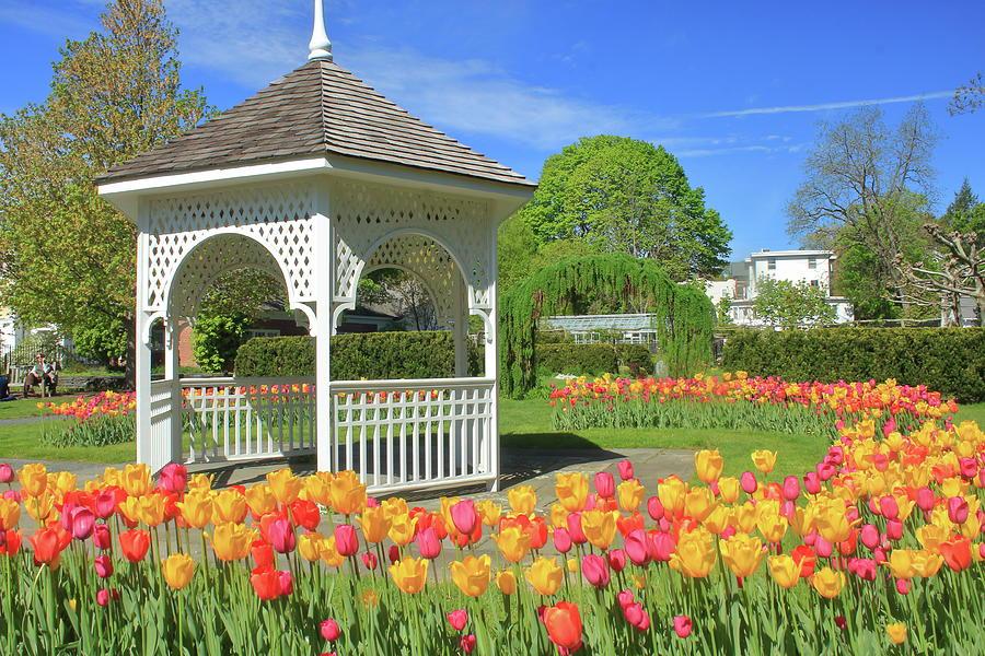Tulips At Capen Garden Photograph