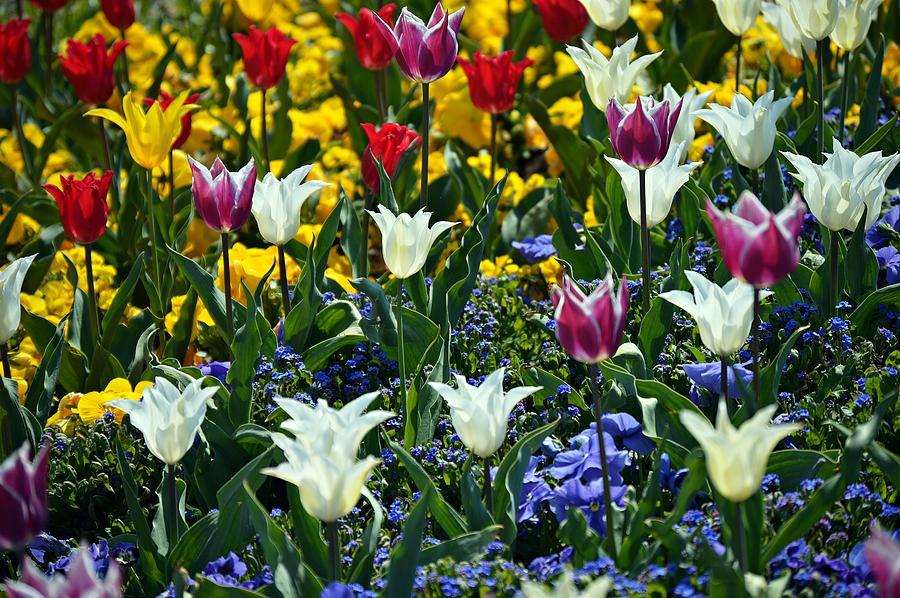 Tulips by Thomas Schroeder
