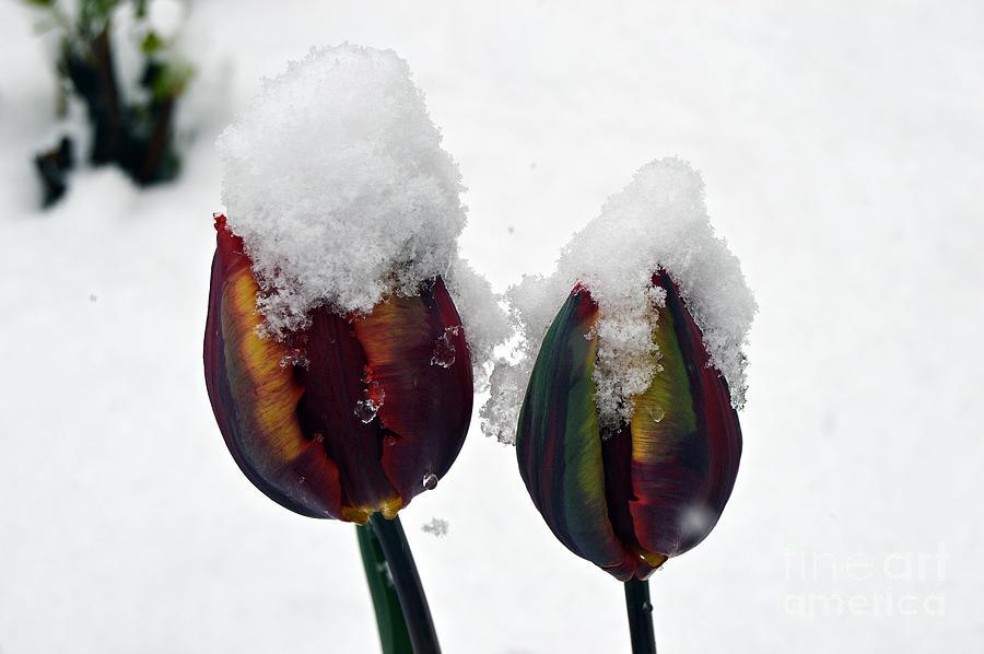 Tulips Under Snow by Thomas Schroeder