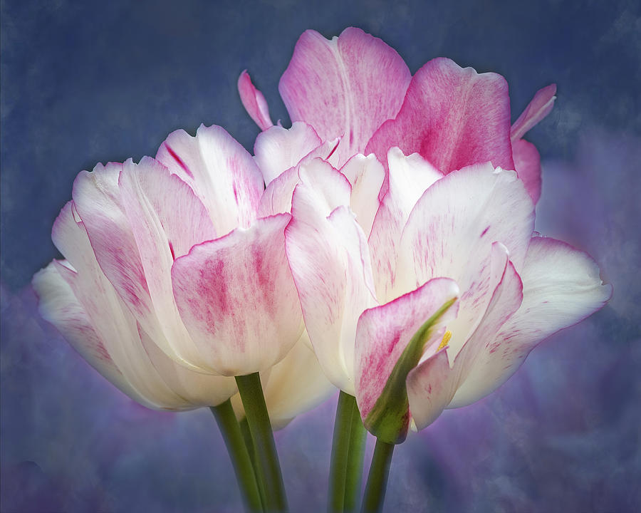 Tulips With Pink Edges Photograph