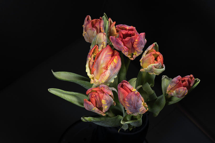 Tulips_6 by Jay Anne Boza