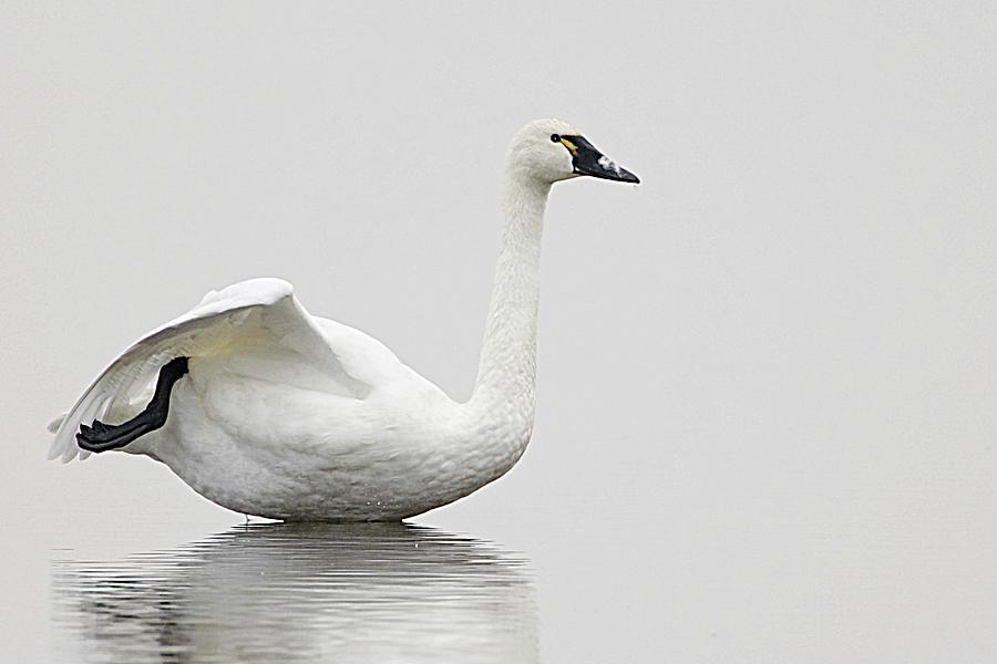 Tundra Swan At Rest Photograph