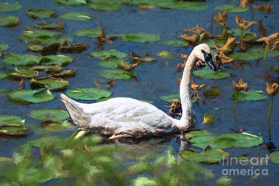 Swan Photograph - Tundra swan by Gaby Swanson