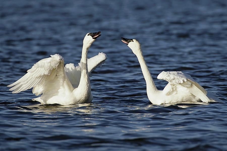 Tundra Swans Courting Photograph