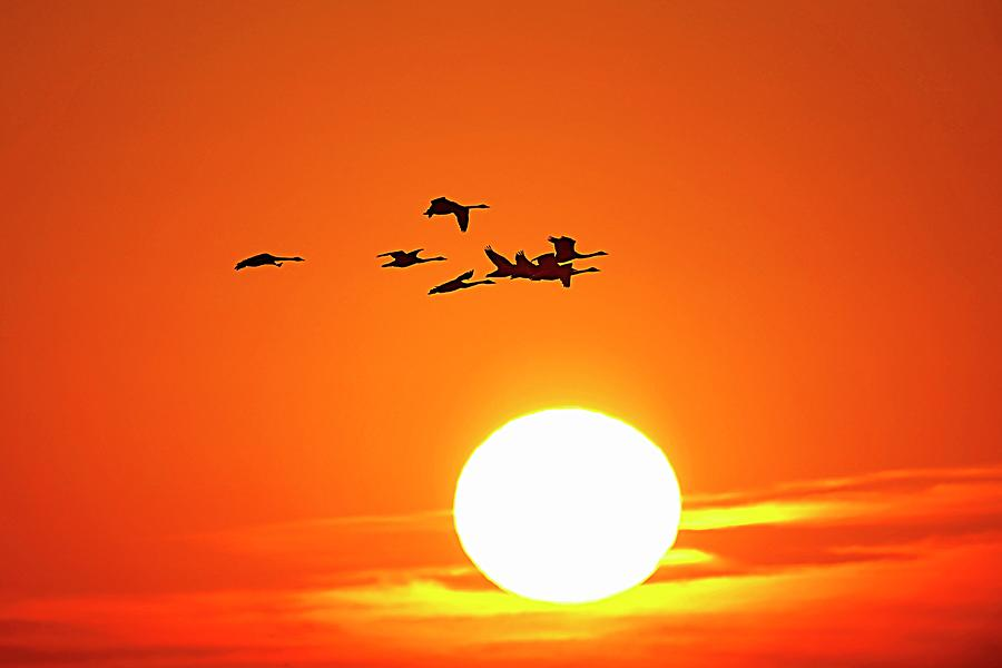 Tundra Swans Silhouette Photograph