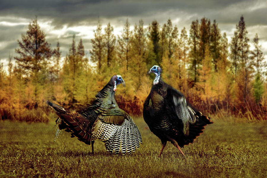 Turkey Face-Off by Patti Deters