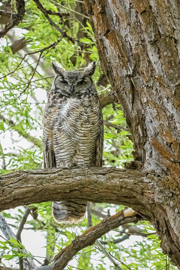 Turning Around To Find The Great Horned Owl Parent Right Behind M Photograph