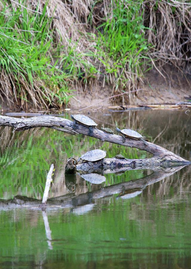 Turtle Gathering Photograph