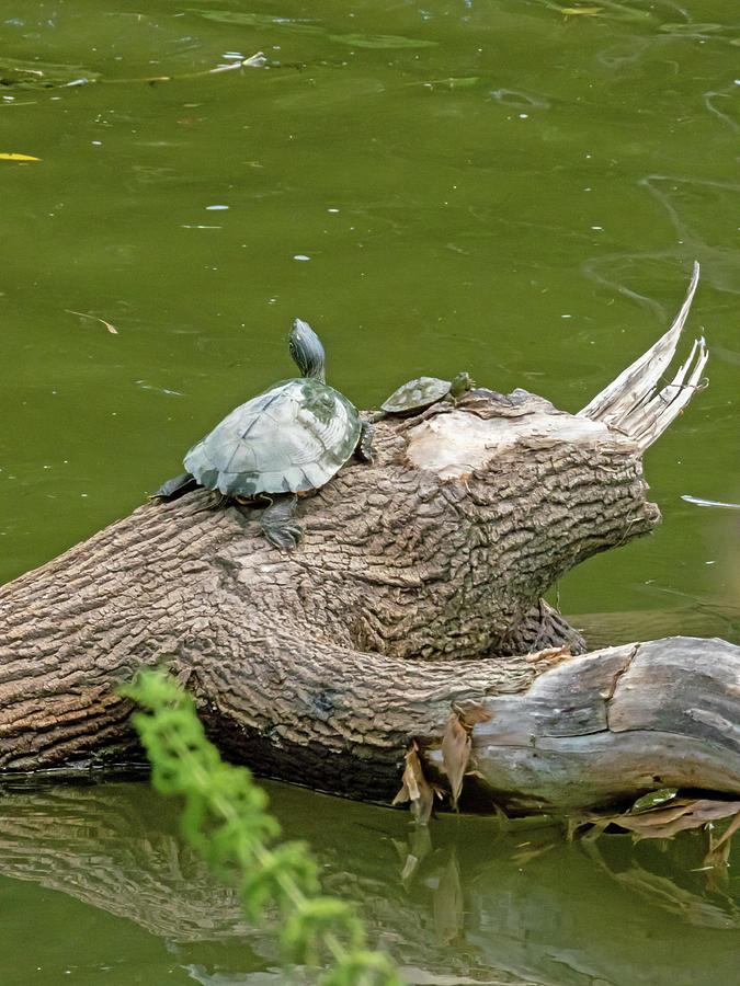 Turtles On A Log Photograph
