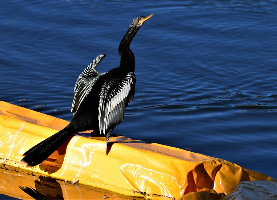 Tuscawilla Anhinga by Warren Thompson
