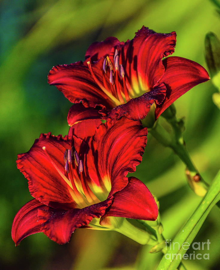 Twin Beauties - Ruby Daylilies Photograph