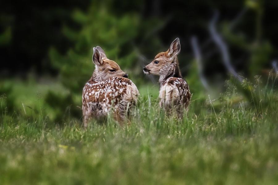 Twin Fawns Near Spalding Bay Road, Grand Tetons Photograph