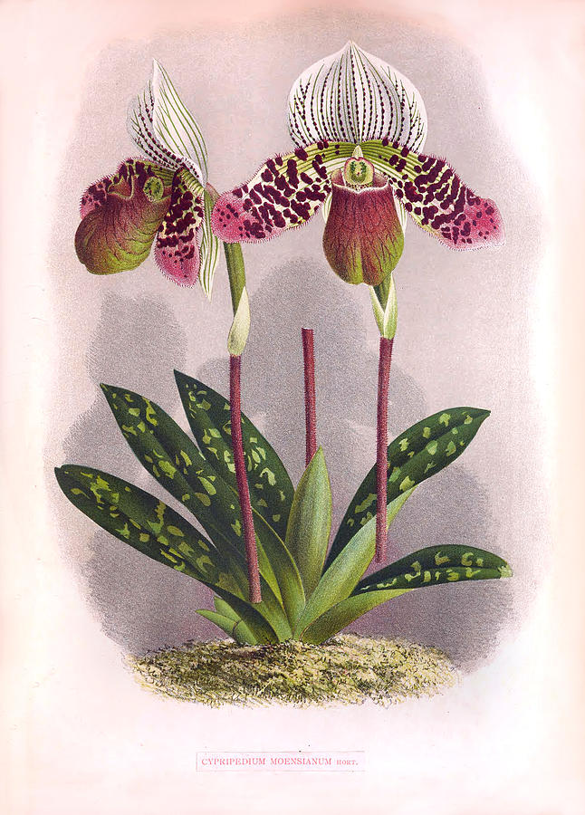 Twin Purple Orchids Vintage Cypripedium Moensianum  by Jean Jules Linden