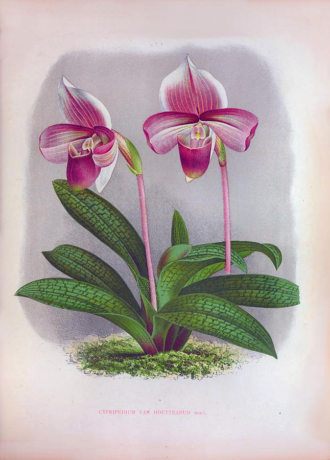 Twin Purple Orchids Vintage Cypripedium Van Houtteanum by Jean Jules Linden