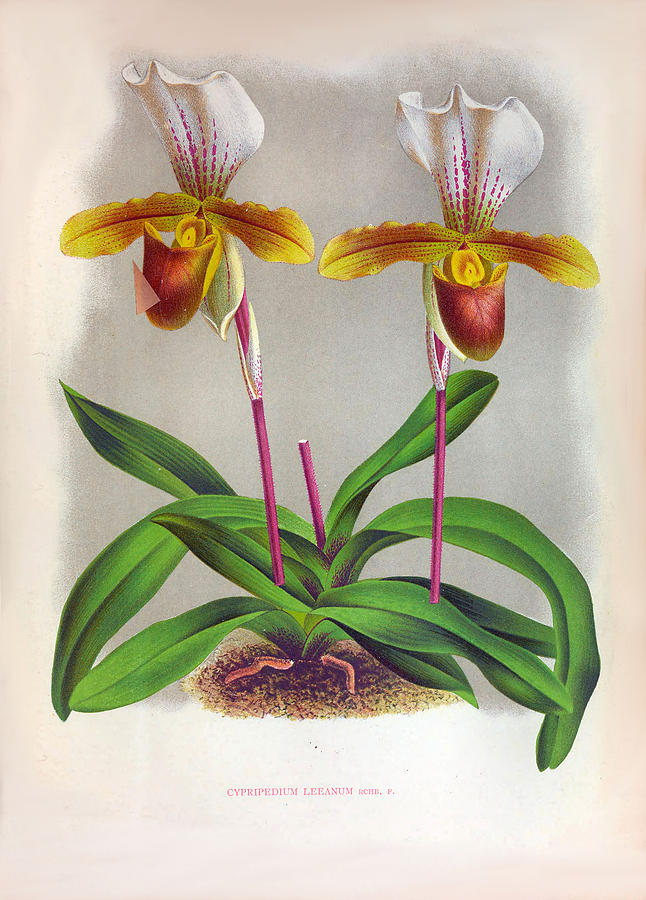 Twin White And Yellow Orchids Vintage Cypripedium Leeanum  by Jean Jules Linden