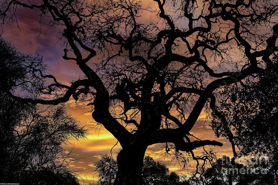 Twisted Oak Tree Sunset Photograph